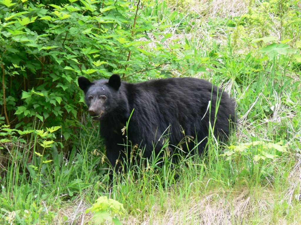 Black Bear (Baribal)